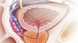 Предстательная железа (простата): как выглядит, анатомия органа