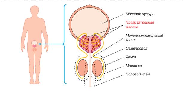 Предстательная железа размеры норма у взрослых